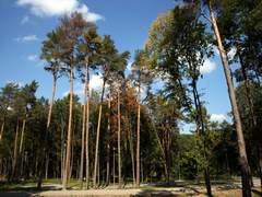 Сосны Друскининкая. Литва